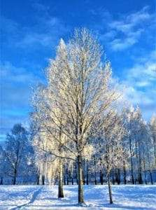 ice-covered tree